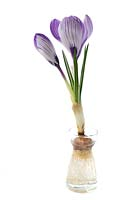 Crocus corm growing in crocus forcing vase on white background