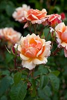 Rosa 'The Cheshire Regiment'