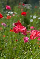 Annual meadow flowers with Poppies - Papaver rhoeas