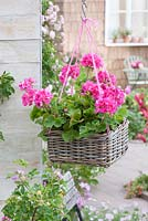 Pelargonium zonale 'Flower Fairy Rose' - standing geraniums in hanging basket