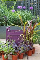 Ingredients required for purple planter are Cosmos atrosanguineus, Calibrachoa 'Black Cherry' Can Can series, Ipomoea batatas 'Black Tone', Lantana montevidensis 'Trailing Purple' and Pennisetum glaucum 'Purple Majesty' F1 Hybrid