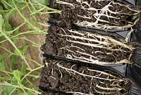 The roots of Sweet Pea seedling, Lathrus  odoratus 'Fragrantissima' growing in root trainers.
