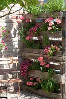Pallet used to display containers - Pelargonium zonale 'Classic Helena', Nemesia Sunsatia Plus 'Berry Delight', Oregano - Origanum, Thymus and Satureja