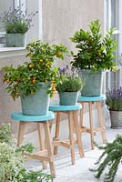 Citrofortunella microcarpa and Lavandula in pots displayed on stools