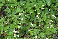 Fragaria vesca - flowering wild strawberries as a groundcover