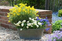 Genista hispanica - Spanish broom and Viola cornuta - horned violet in zinc bath on gravel surface