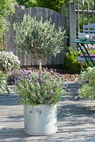 Large metal container - Olea europaea - olive tree under planted with Lavandula stoechas - French lavender
