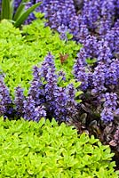 Ajuga reptans 'Braunherz', Origanum vulgare 'Aureum' - Late April - Kew Gardens, London, UK
