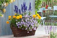 Petunia Supertunia 'Violet Star Charm', Coreopsis grandiflora Solanna'Golden Balla' and Salvia farinacea 'Midnight Candle' in basket container