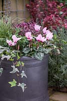 Pink Winter Container featuring Conifer, Cyclamen, Carex comans 'Frosted Curls', Variegated Ivy and Hebe 'Hot Shot' Hey Beauty series