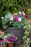 Planting a winter container. Step 6: Completed pot planted with ornamental cabbage, white Cyclamen persicum, silver-leaved Calocephalus 'Silver Sand', trailing variegated ivy and Helleborus niger 'Christmas Carol'. In terracotta pots and basket, primulas, pink cyclamen and cabbage.