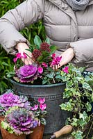 Planting a winter container. Step 8: As an alternative centrepiece, a red budded Skimmia japonica is placed amidst pink Cyclamen hederifolium, trailing variegated ivy and pink ornamental cabbage.
