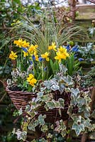 Late winter wicker hanging basket planted with Stipa tenuissima, Narcissus 'Tete-a-Tete', Muscari armeniacum, Erica x darleyensis 'Bing', Hedera helix, Euonymus fortunei 'Emerald Gaiety' and variegated ivy.
