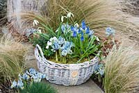 A February basket planted with Galanthus 'Cowhouse Green', Muscari armeniacum, Lithodora diffusa 'Heavenly Blue', Iris reticulata 'Katharine Hodgkin and ivy.