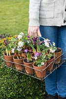 Planting a March hanging basket. Being carried, 12 vintage terracotta pots in wire basket, planted with Chionodoxa forbesii 'Pink Beauty', Crocus 'Ruby Giant', Iris reticulata 'J S Dijt', Anemone blanda, heather and violas.