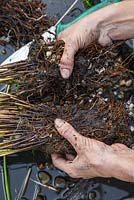 Using your hands carefully ease apart the plant to create two equal halves, Juncus inflexus - Hard Rush