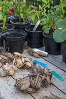 A collection of Dahlia tubers ready for planting into pots.