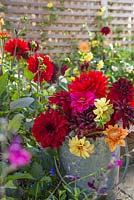 A galvanised metal bucket with fresh cut flowers from the Dahlia borders. Dahlia 'Natal', Dahlia 'Garden Wonder', Dahlia 'Purpinka', Dahlia 'Sylvia'