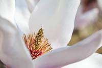 Magnolia 'Milky Way' - Stamen close-up