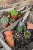 Mixture of compost and gravel with loose Sempervivums ready to be potted up
