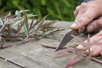 Remove the bottom of the Sambucus nigra cutting, leaving one inch free from the node