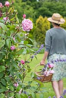Rosa 'Constance Spry' in foreground, woman walking away with trug of cut Roses in background