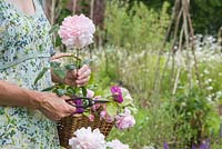 Woman holding a trug of cut roses with Rosa 'Gertrude Jekyll'