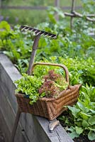 Woven basket containing harvest of Lettuce 'Little Gem' and 'Lollo Rossa' - Lactuca sativa, with rake