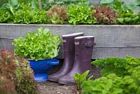 Blue colander of harvested Lettuce - Lactuca sativa with wellies in a vegetable bed