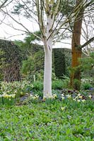 Betula utilis var jacquemontii 'Doorenbos' underplanted with Helleborus x hybridus double dark purple-flowered, Pulmonaria angustifolia 'Azurea' and Narcissus 'Trena' - RHS Rosemoor, Devon