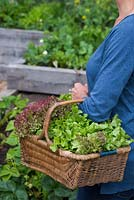 Woman carrying a wicker basket containing a variety of harvested Lettuce. Loose-leaf and Lollo Rossa
