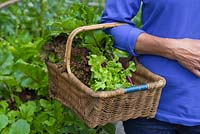 Woman carrying a wicker basket containg a variety of vegetables. Beetroot and Lettuce