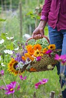 A woman holding a wicker basket of cut flowers from the cutting garden. Verbena bonariensis, Calendula officinalis, Allium seedheads and Cosmos