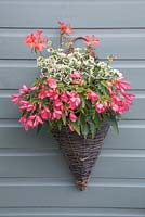 Pink themed wall basket planted with Pelargonium 'Frank Headley' and Begonia 'Blissful' Million Kisses series