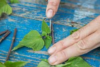 Remove any leaves remaining at the bottom of your Salvia 'Amistad' cuttings
