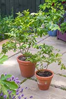 Twin terracotta pots on a patio containing blueberry plants