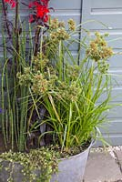 A miniature bog garden in a tin bath. Planted with Lobelia cardinalis 'Queen Victoria', Cyperus and Equisetum japonicum