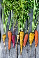 Freshly harvested carrots in different colours on a wooden table.