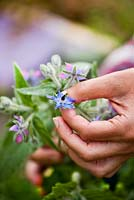 Borago officinalis - Picking Borage, edible flowers