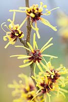 Hamamelis mollis 'Imperialis' Witch Hazel, Winterbloom. Shrub, January. Close up of scented yellow flowers.