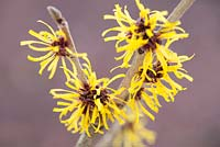 Hamamelis mollis 'Jermyns Gold', Witch Hazel, Winterbloom. Shrub, January. Plant portrait of bright yellow scented flowers.