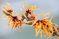 Hamamelis x intermedia 'Aurora' Winterbloom, Witch Hazel. Shrub, January. Close up portrait of yellow and orange scented flowers.
