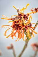 Hamamelis x intermedia 'Aphrodite' Winterbloom, Witch Hazel. Shrub, January. Close up portrait of yellow and orange scented flowers.
