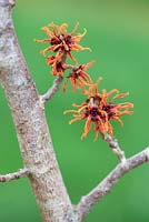 Hamamelis x intermedia ''Gingerbread', Winterbloom, Witch Hazel. Shrub, February. Plant portrait of bright red and orange  scented flowers.