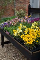 Erysimum - Wallflowers for sale on a bench with Violas and Lathyrus - sweet peas at The Place for Plants in Suffolk, April.