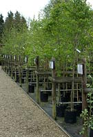 Trees for sale at The Place for Plants in Suffolk, April.