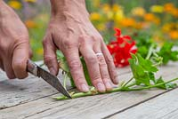 Using a sharp knife remove the bottom of the Pelargonium cutting below the plant node