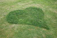 A heart shaped Clover mound left behind after mowing. This ensures insects and bees come back to your garden to visit the flowering Clover.