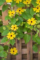Thunbergia alata grown on a trellis