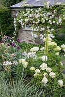 Detail of border with Papaver somniferum and Hydrangea 'Annabelle'. Climbing rose. The Old Rectory, Kingston, Isle of Wight.